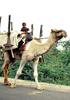 ラクダを育てる、売る、利用する―インド西部の牧畜生活