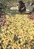 トウモロコシの人類史―儀礼用から遺伝子組み換え作物へ